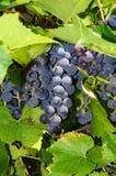 виноградины ветви Стоковая Фотография