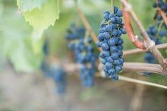 виноградины вида виноградин на лозе Стоковые Изображения RF