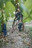 виноградины вида виноградин на лозе Стоковое фото RF