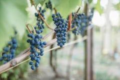 виноградины вида виноградин на лозе Стоковая Фотография RF