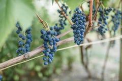 виноградины вида виноградин на лозе Стоковое Изображение RF