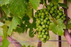 Виноградины вина стоковые изображения
