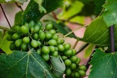 Виноградины вина стоковое фото rf