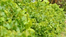 Виноградины вина Barossa Valley Стоковые Изображения RF