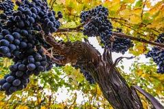 Виноградины вина II стоковое фото rf