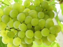 Виноградины вися на лозах Стоковая Фотография