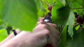 Виноградины вырезывания человека во время жать процесса движение медленное сток-видео