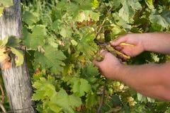 Виноградины вырезывания Стоковая Фотография