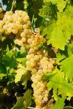 Виноградины в винограднике в Италии Стоковые Фотографии RF