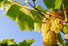 Виноградины в винограднике в Италии Стоковое Фото