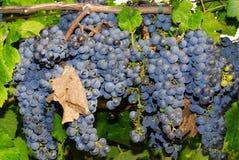 Виноградины в винограднике в Италии Стоковая Фотография