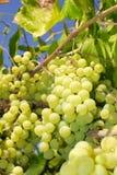 Виноградины в винограднике в Италии Стоковое Изображение