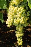 Виноградины в винограднике в Италии Стоковые Фото