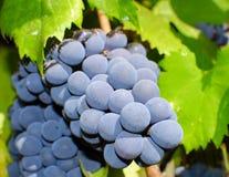 Виноградины в винограднике в Италии Стоковая Фотография RF