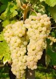 Виноградины в винограднике в Италии Стоковое Изображение RF