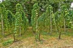 Виноградины виноградины в винограднике летом Июль стоковые фото