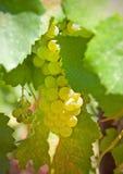 виноградины группы белые Стоковое фото RF