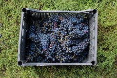 Виноградины для вина в не очень хорошем состоянии Стоковые Изображения RF