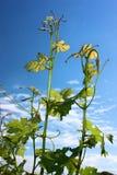 виноградины достигаемости лозы skyward Стоковые Изображения RF