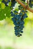 виноградины жмут правое зрелое солнце лета Стоковая Фотография RF