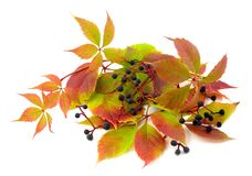 виноградины засаживают переплетенное одичалое стоковое изображение