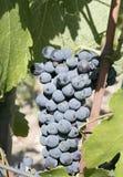 виноградины зрелые стоковое изображение rf