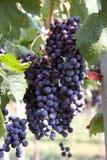 виноградины итальянские стоковые изображения rf