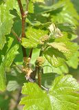 Виноградины и виноградники стоковые изображения