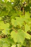 Виноградины Листья и грозы стоковая фотография rf