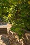 Виноградины Листья и грозы стоковые фотографии rf