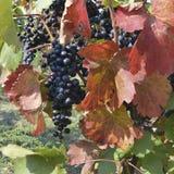 Виноградины лозы Стоковые Изображения