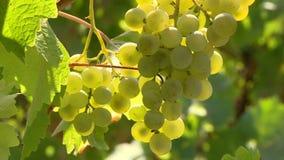 Виноградины на ветви сток-видео