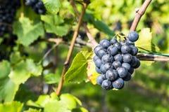 Виноградины на винограднике Стоковое Изображение