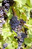 Виноградины на виноградном вине с деревянной предпосылкой стоковые фото