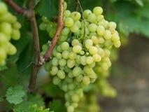 Виноградины на запасе лозы на дворе вина Стоковые Фотографии RF