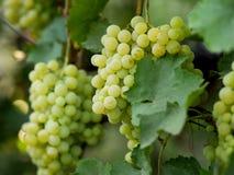 Виноградины на запасе лозы на дворе вина Стоковое Фото