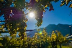 Виноградины на лозе во время сбора осени Стоковые Фото