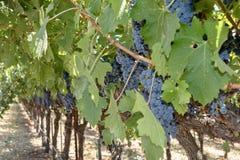 Виноградины на лозе в винограднике Стоковая Фотография RF