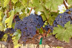 Виноградины на лозе в винограднике Стоковые Изображения