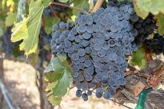Виноградины на лозе в винограднике Стоковое Фото