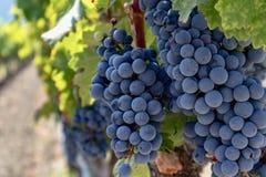 Виноградины на лозе в винограднике стоковое изображение rf