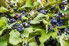 Виноградины на лозе Стоковые Изображения RF