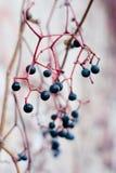 виноградины одичалые Стоковое фото RF