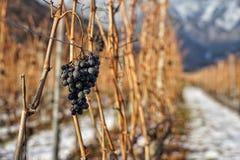 Виноградины стоковое изображение rf