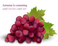 Виноградины осени красные кардинальные изолированные на белой предпосылке Иллюстрация вектора сбора сезона реалистическая иллюстрация вектора