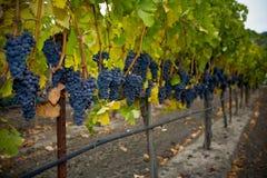 виноградины осени Стоковая Фотография