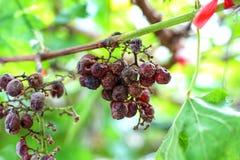 виноградины остаются на лозе и вне Виноградник Стоковая Фотография