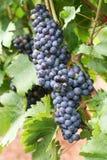 виноградины подготавливают сбор винограда стоковое фото rf