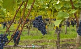 виноградины поля Стоковая Фотография