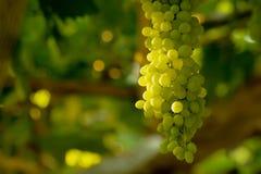 виноградины пука белые Стоковое Фото